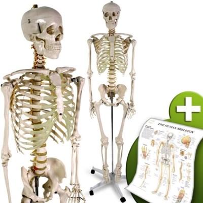 Lidská kostra skelet 182cm
